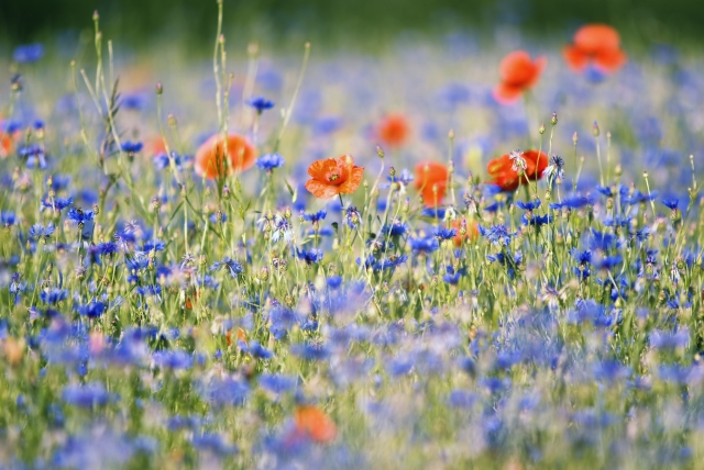 Poppies and Bluets by dan